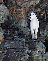 Mountain goat on cliff in Glacier National Park.